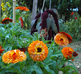 Calendula and amaranth